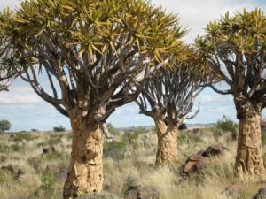 Namibia Koecherbaum
